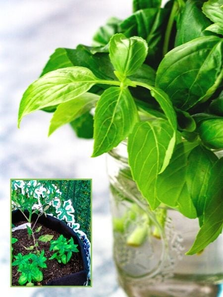 How to grow fresh basil at home