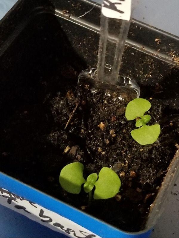 ways to grow basil